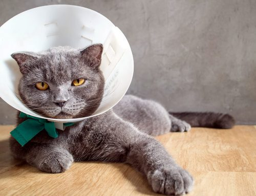 Ear Injuries and Disease in cats