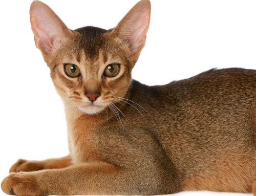 Feline Hearing – How well can your Cat hear?