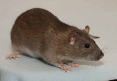 Agouti Rats