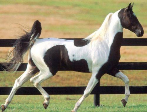 American Saddlebred Horse