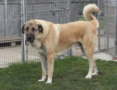 Anatolian Shepherd Dog – Karabash
