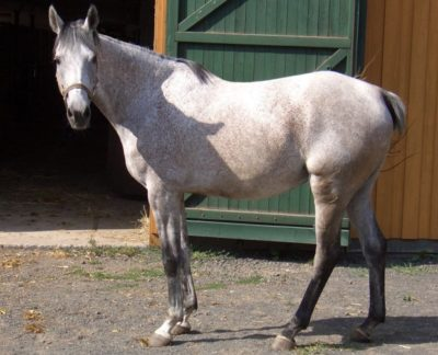 Anglo-Arabian horse - Anglo Arab
