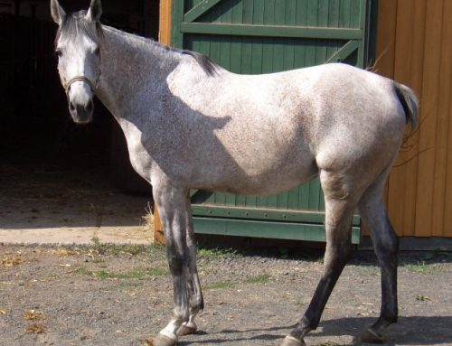 Anglo-Arabian horse – Anglo Arab