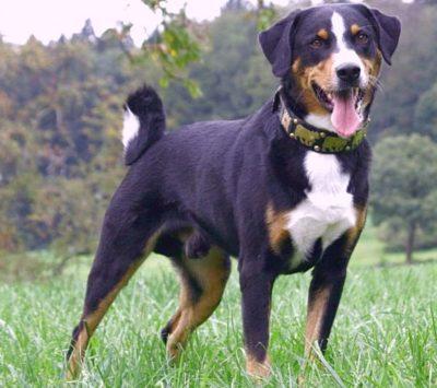 Appenzell Mountain Dog (Appenzeller)