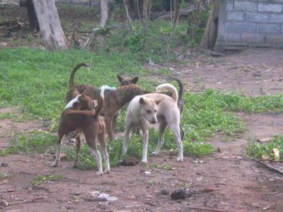 Bali Dog Documentary