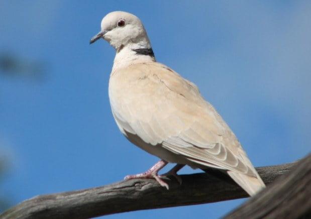 Barbary Dove