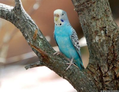Bird Vet – Caring for your Budgerigar