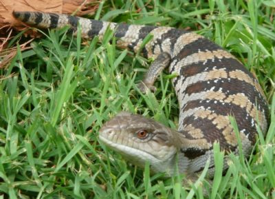 Bluetongue Lizards as Pets