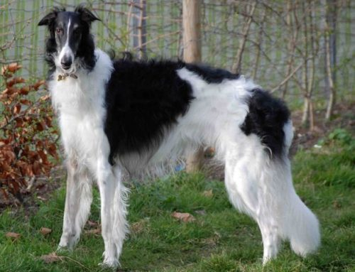 Borzoi – Breeders, Puppies and Breed Information