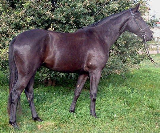 Brandenburg Horse - Brandenburger,