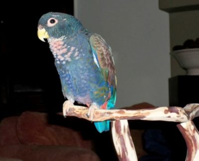 Bronze Wing Pionus Parrots