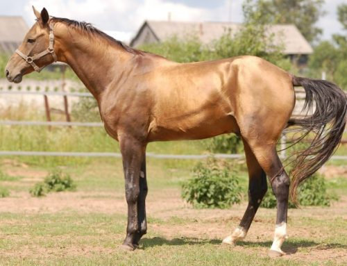 Budenny Horse