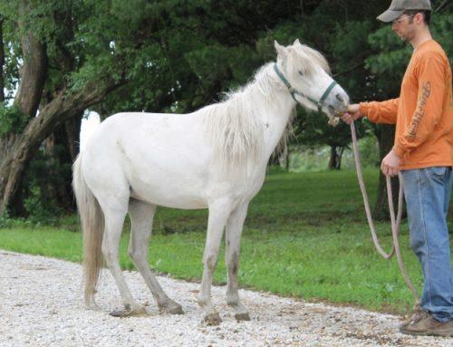CASPIAN Horse