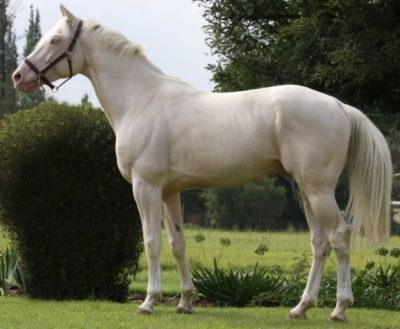 CZECHOSLOVAKIAN WARMBLOOD