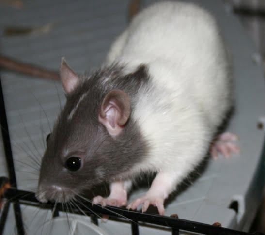 Capped Rats