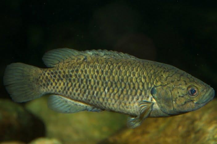 Climbing gourami (Labyrinth fish)