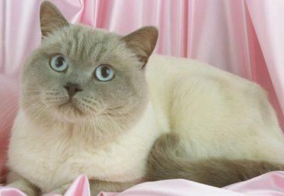 Colourpoint Shorthair Cat