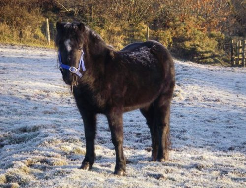 Dartmoor and Exmoor Ponies