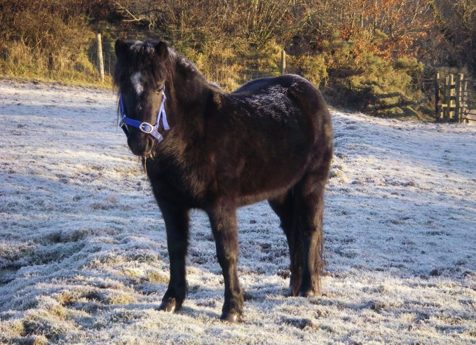 Dartmoor and Exmoor Ponies
