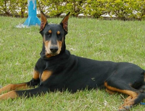 Doberman Pinscher – Dobermann