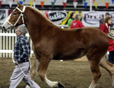 Draft Horse Showing