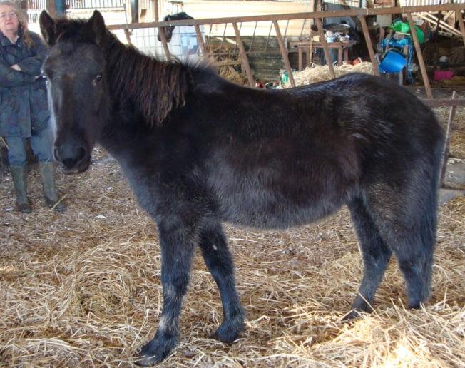 Eriksay Pony
