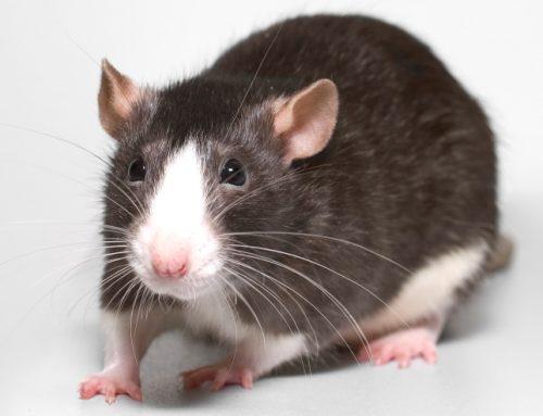 Fancy Rats