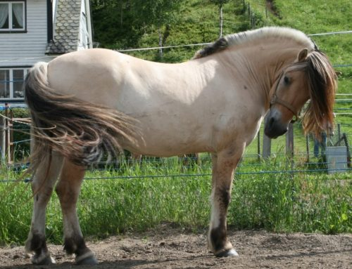 Fjord Pony