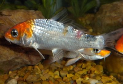 Fungal Fish Diseases