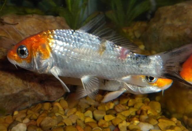 Fungal Fish Diseases