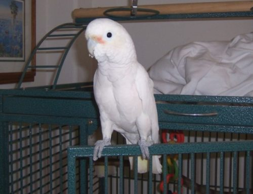 Goffin's Cockatoo as a Pet