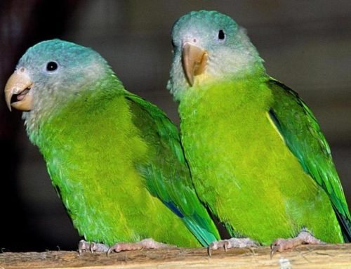Grey Cheeked Parakeet