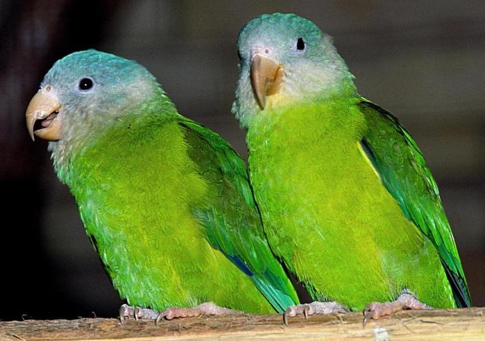 Grey Cheeked Parakeet