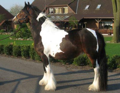 Gypsy Vanner horse – Irish Cob