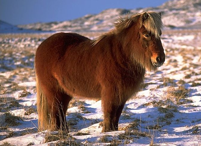 Icelandic Horse – Icelandic Pony