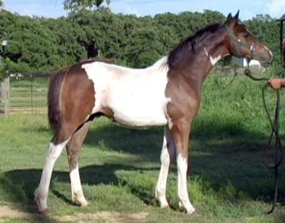 Indian Half Bred Horse