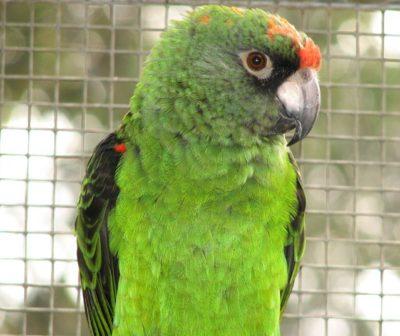 Jardine's parrots – red front parrots as pets