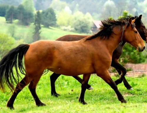 KABARDIN AND KARABAKH Horse