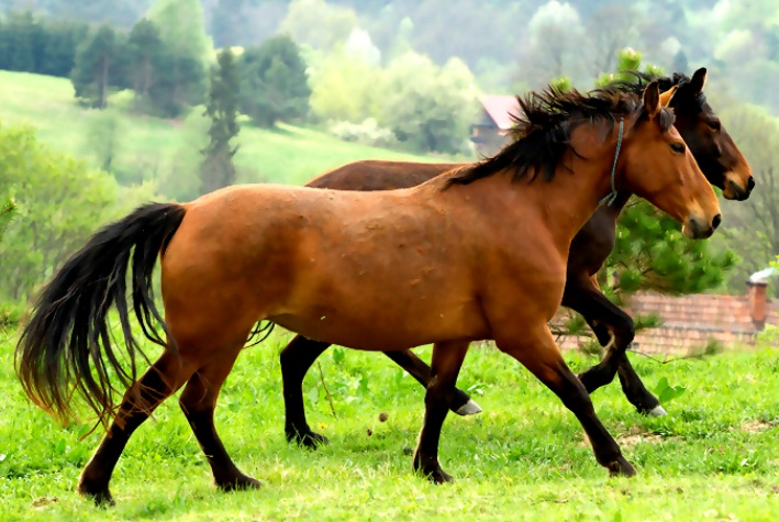 KABARDIN AND KARABAKH Horse