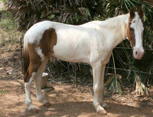Kathiawari Horse