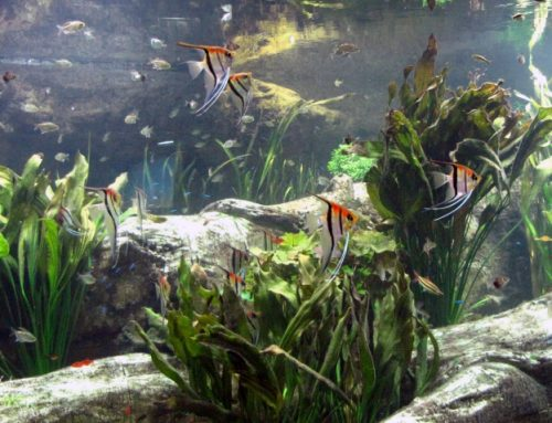 "Keeping Amazon Fish in a ""Natural"" Aquarium"