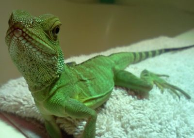 Keeping Water dragon as Pets