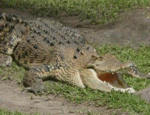 Keeping an Australian Crocodile as  a Pet