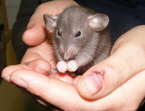 Keeping your Pet Mice Safe and Healthy