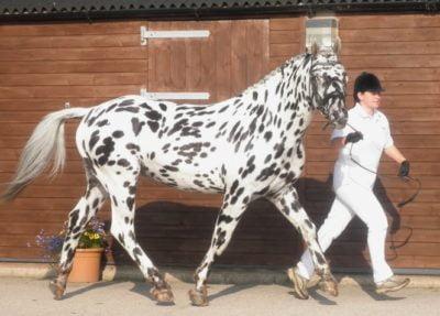 Knabstrup / Knabstrupper Horse