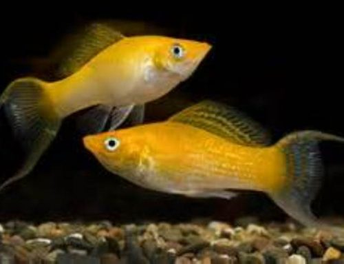 Live-bearing aquarium fish – livebearers
