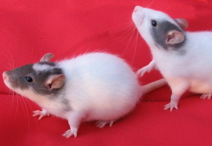 Masked Rats