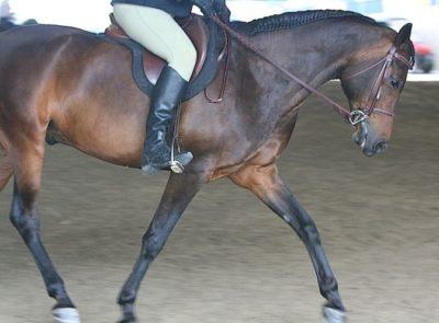 Morab Horse