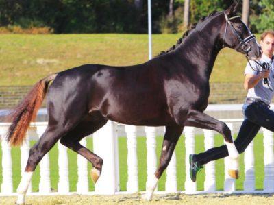 Oldenburger Horse