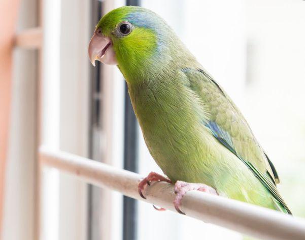 Pacific parrotlets as pets